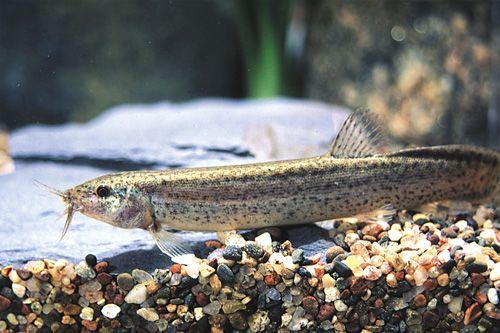 Dojo Loach Med Misgurnus Anguillicaudatus Aquarium Fish Freshwater Aquarium Dojo