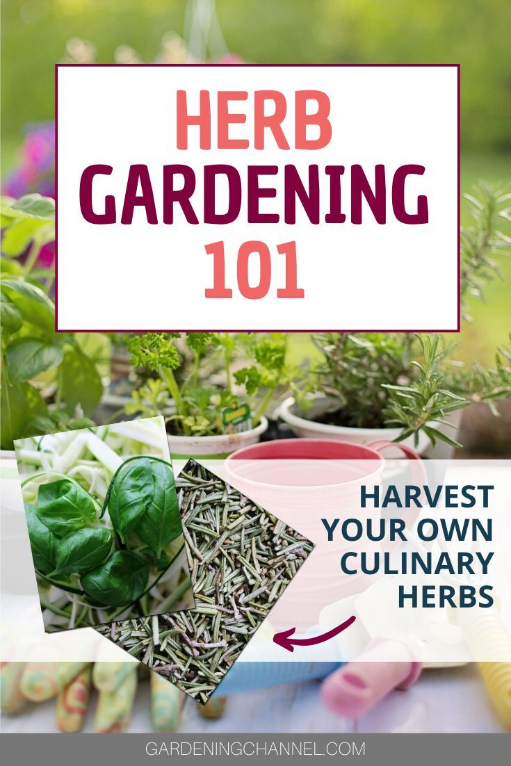 Beginner's Guide to Herb Gardening is part of Herb garden, Culinary herbs, Harvesting herbs, Herbs, Medicinal herbs garden, Starting a vegetable garden - Are you an organic gardener thinking about growing your own herbs  Have you been dreaming about the wonderful aroma of sweet basil; or perhaps the taste of savory and chemical free oregano in your pasta sauce  Even if you're a novice gardener concerned about the use of chemical pesticides and herbicides, you'll be glad to […]