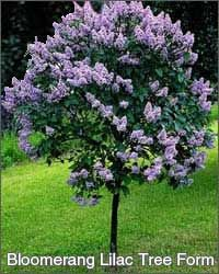 Pin By Lena Stoltzfus On Patio And Landscaping Lilac Tree Plants Garden Trees