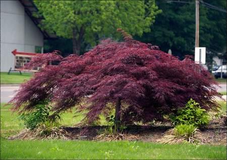 Crimson Queen Japanese Maple