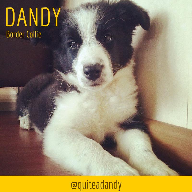 Dandy The Border Collie Collie Puppies Collie Border Collie