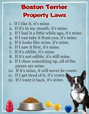 Boston Terrier Property Laws I Laughed Out Loud For A Good 5