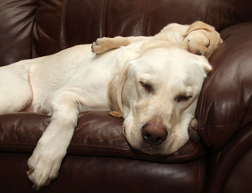Labrador Bambini ~ 395 best :: labrador :: images on pinterest cutest animals