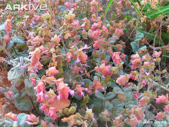Dittany Of Crete Photo Origanum Dictamnus G18822 Arkive Crete Plants Flowers