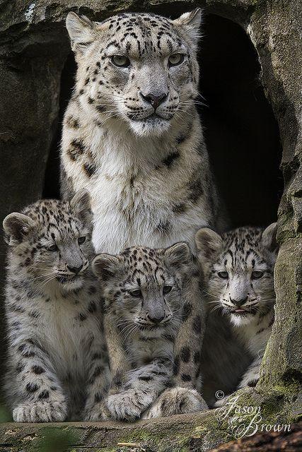 Leopardo de las nieves hembra y sus bebes.