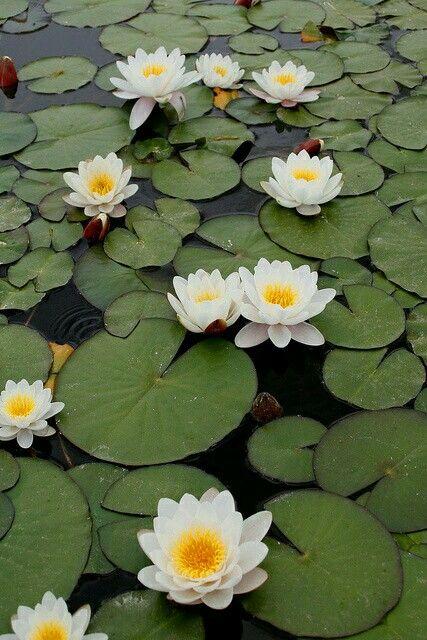 Lotus (my favorite flower)