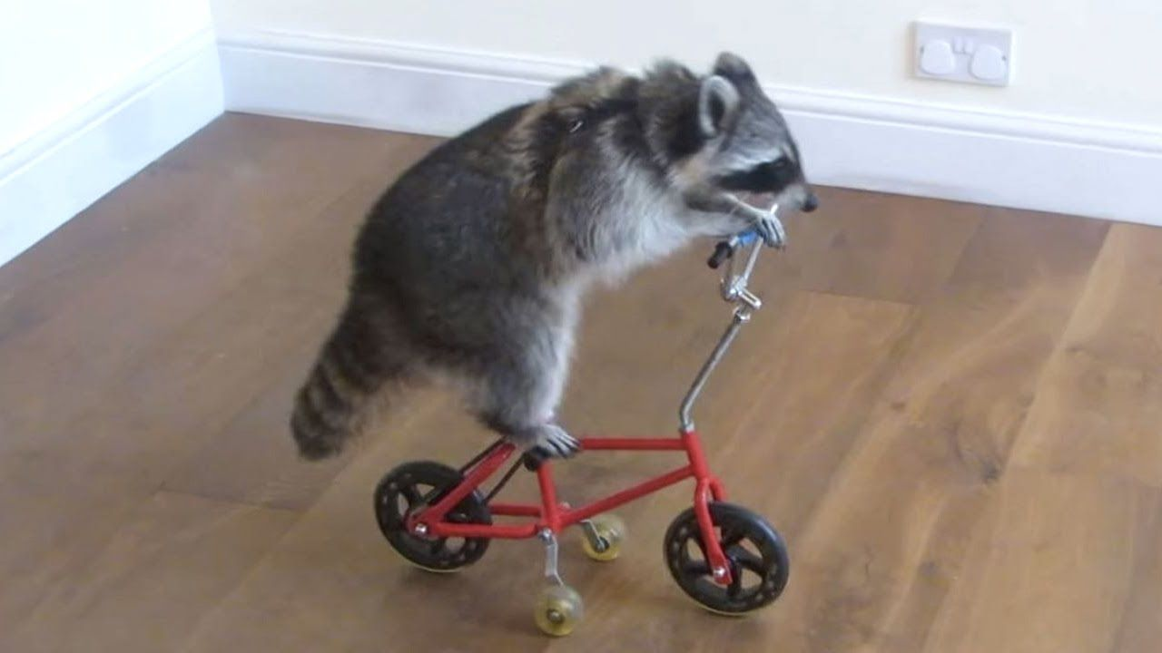 funny raccoon videos keep calm and be a raccoon funny pet