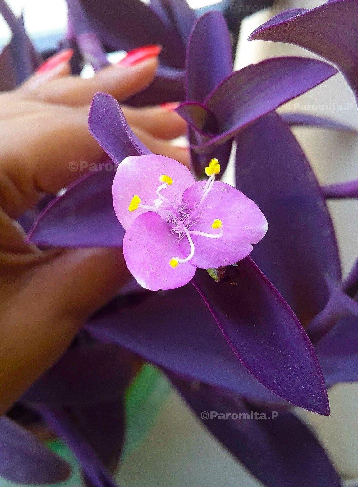 succulent windowgardening PurpleHeart PurpleQueen