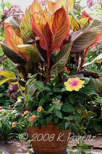 Tropicanna canna, The Path hibiscus, lantana plantitas- naturaleza - maceteros para jardin