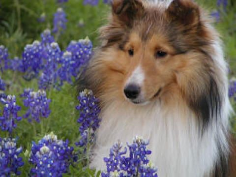 shelties are the best!