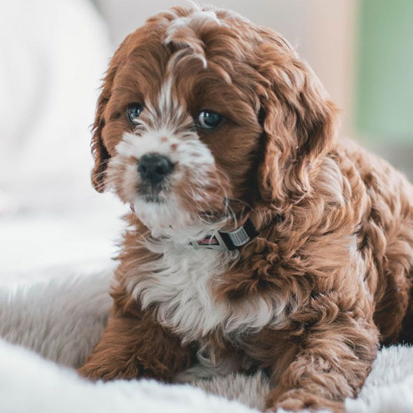 Cavapoo Puppies For Sale Near Me Cavadoodle Breeders Adopted Homes For Life Update We Puppies N Love Puppy M In 2020 Cavapoo Puppies Cavapoo Puppies For Sale Cavapoo
