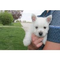 West Highland White Terrier Puppies For Sale West Highland White