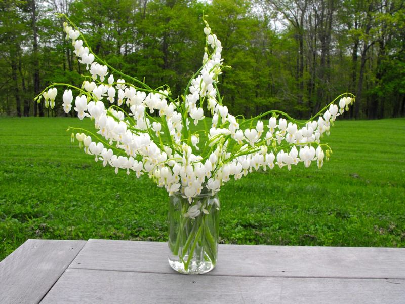 Bleeding Hearts 011 In 2020 Bleeding Hearts Bleeding Heart Flower White Flowers Garden
