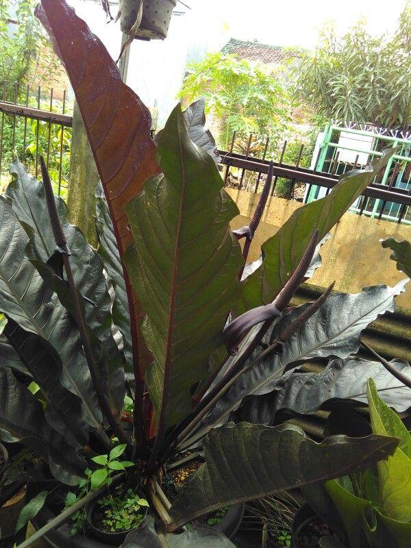Anthurium Black Dragon Motherplant Taman Tanaman