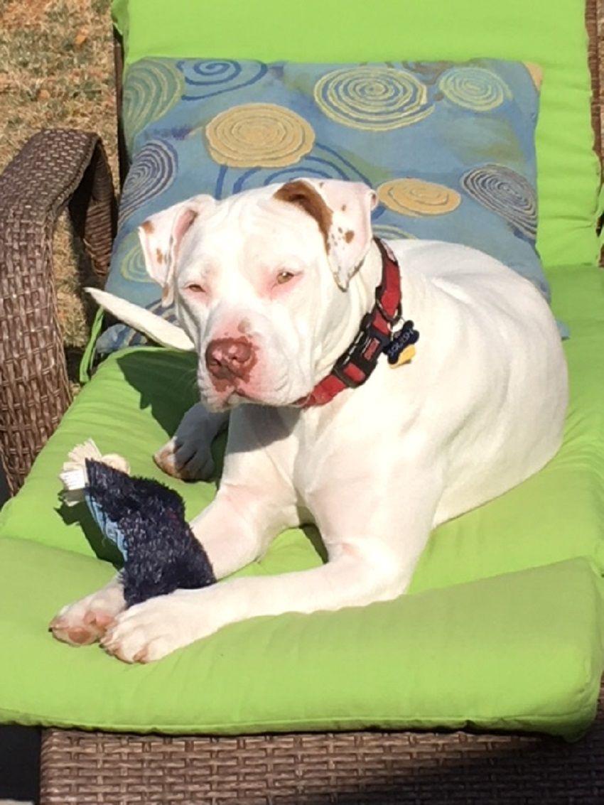 American Bulldog dog for Adoption in Carrollton, TX. ADN