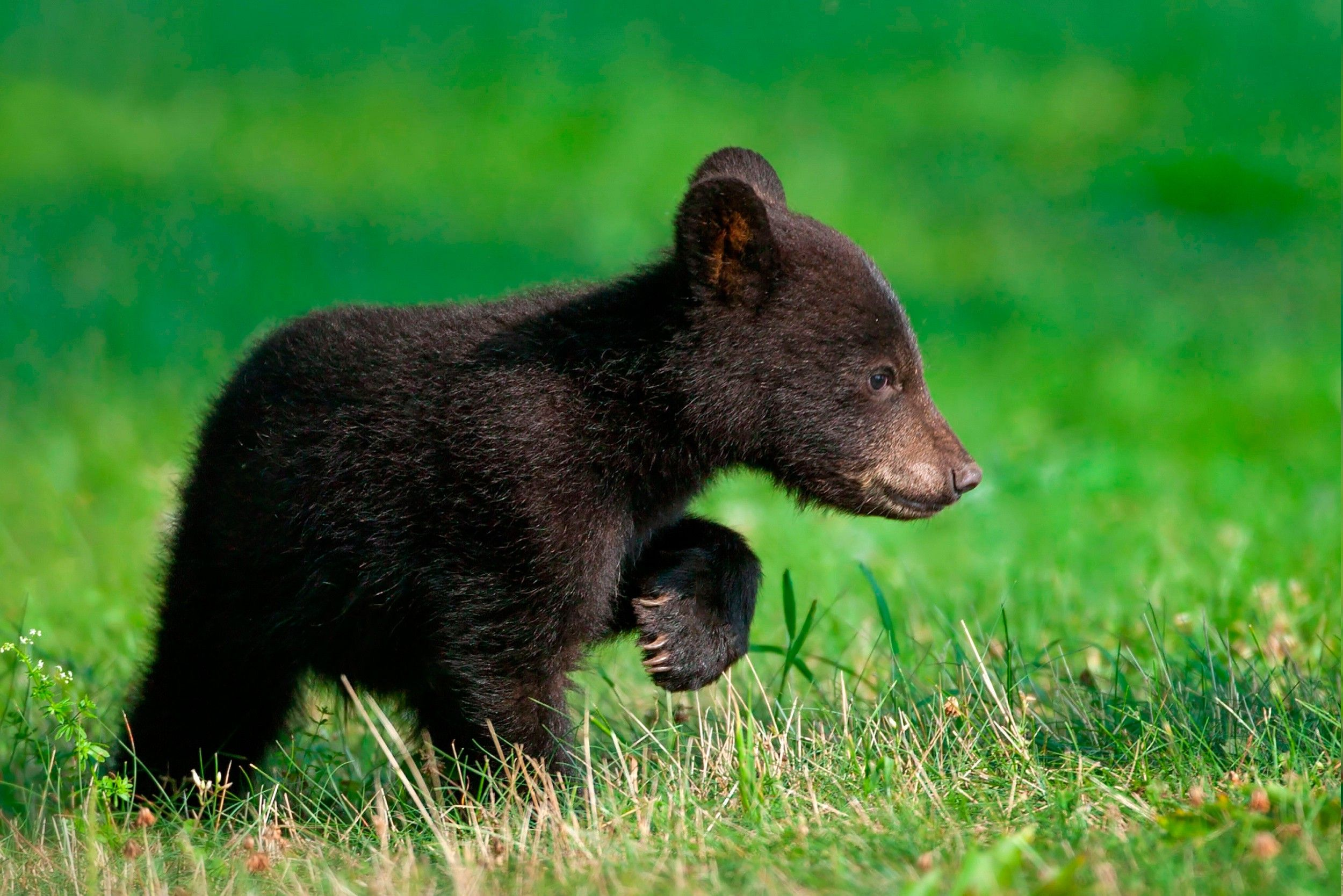 Download Hd Wallpapers Of 275970 Animals Bears Free Download High Quality And Widescreen Resolutions Desktop Background Image Kitten Images Animals Bear Cubs
