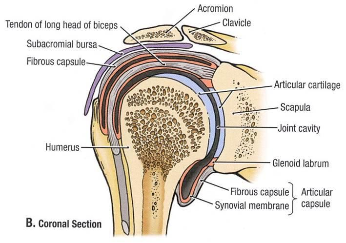 ac joint | GLENOHUMERAL JOINT/ACROMIOCLAVICULAR JOINT | physical ...
