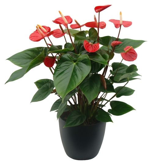 Igenytelen Szobanovenyek Google Kereses Anthurium Anthurium Flower Flower Meanings
