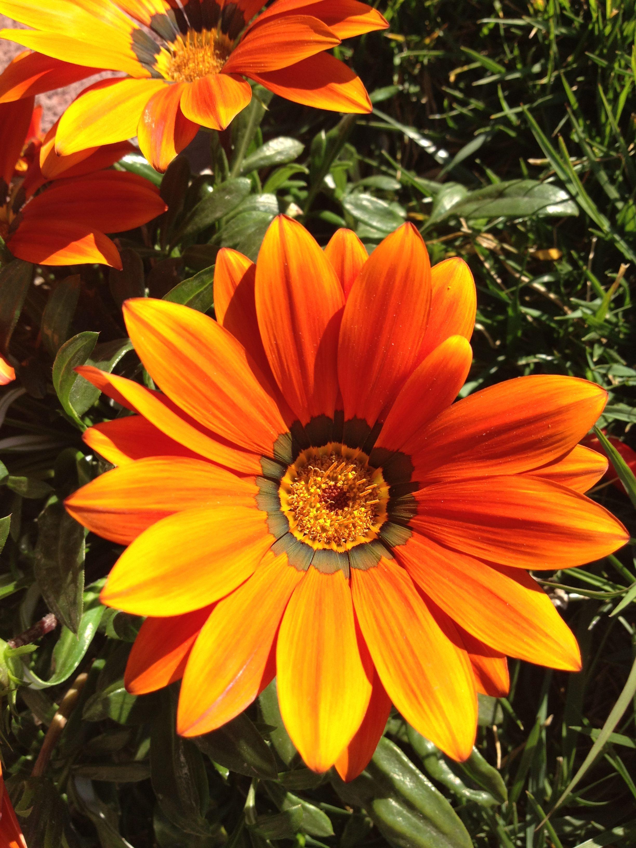 Gazania de mi jardín