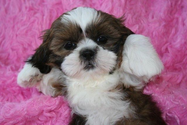 Shihtzus Novi Mi Shih Tzu Puppy Shih Tzu Dog I Love Dogs