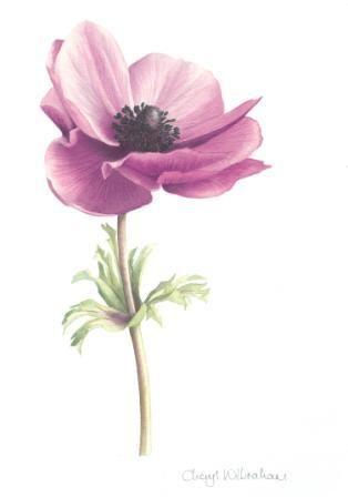 Anemone Botanical Illustration Botanical Illustration Flower Painting Flower Drawing