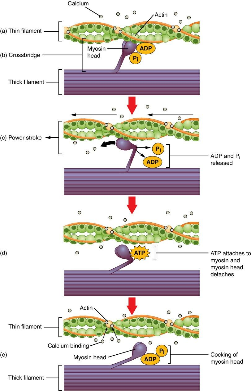 Skeletal Muscle Contraction Steps
