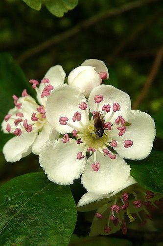 Missouri State Flower Is The Hawthorn May Birth Flowers Birth Flowers Hawthorne Flower