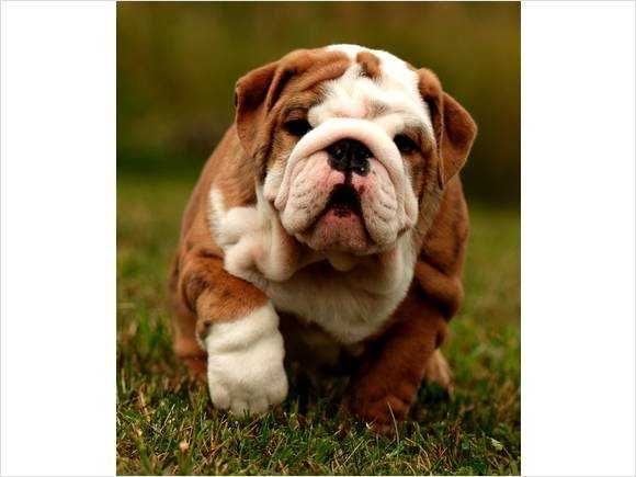 Bulldogs Canadian Kennel Club Registered English Bulldogs For