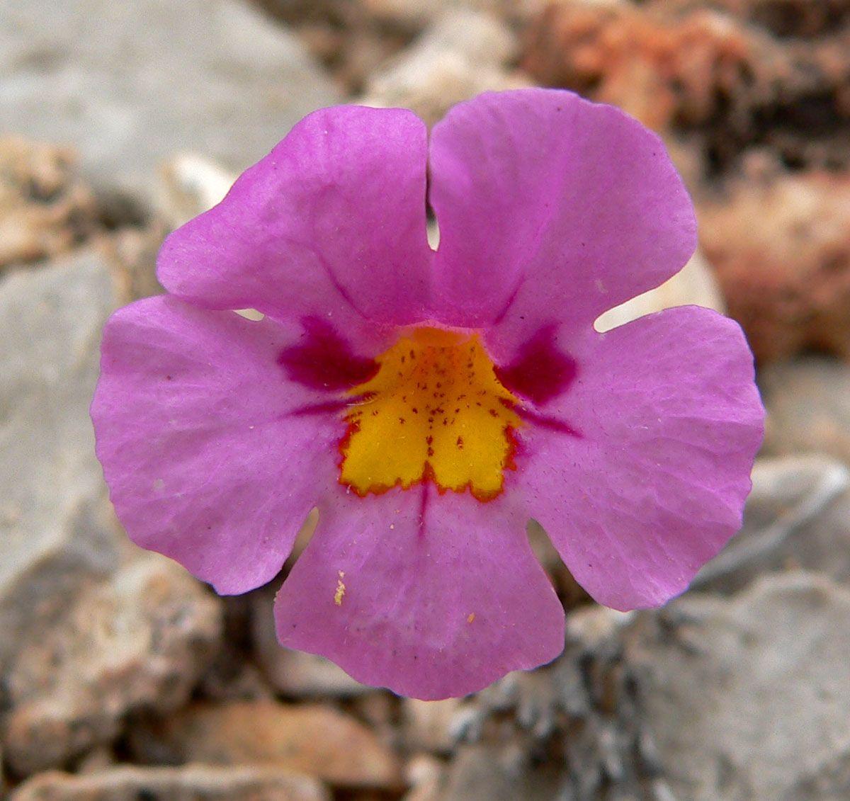 Wild Monkey Flower Mimulus Bigelovii Family Phrymaceae In The