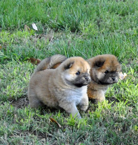 Ginger Sheba Chow Puppies 4 Weeks Old Chow Chow Puppy Chow
