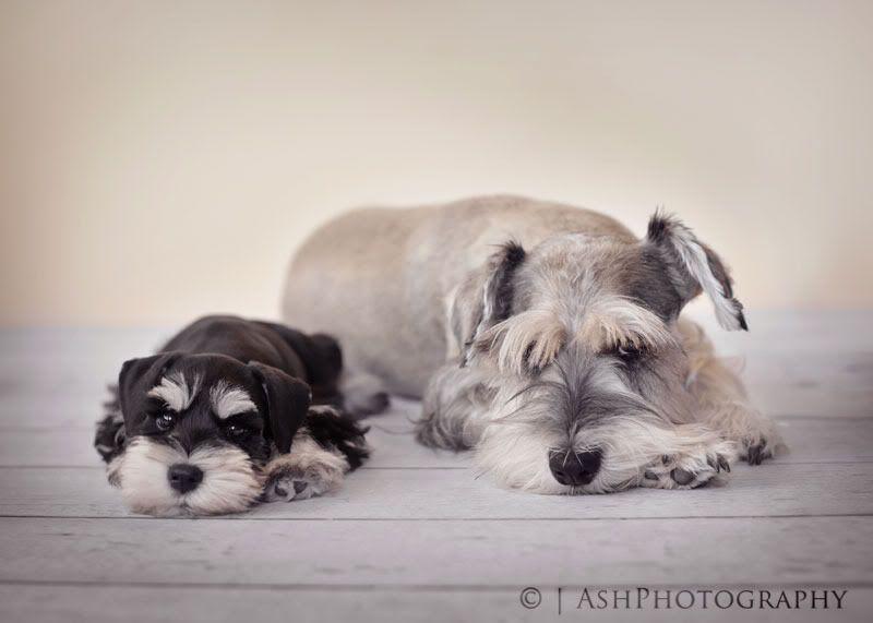 Pin By Mackenzie Benson On Schnauzer Love Miniature Schnauzer Schnauzer Puppy Schnauzer