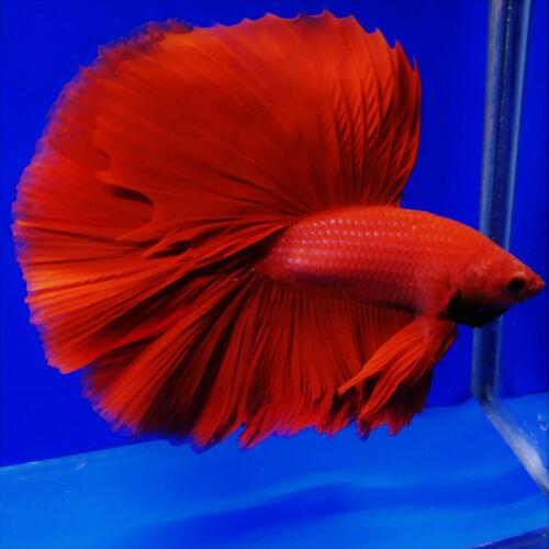 Giant Halfmoon Super Red Male Betta Fish Betta Halfmoon Betta