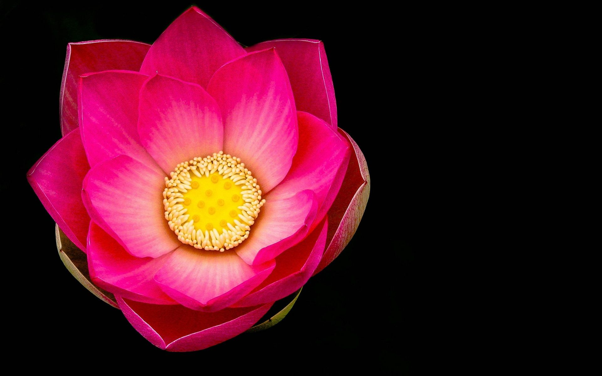 Fleur De Lotus Dijon fleur de lotus rose macro, fond noir fonds d'écran