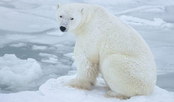 Polar Bear Waiting for Ice | Polar Bears International | Polar bear, Polar  bear facts, Polar bears international