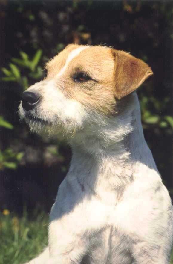 jack russel et parson russell terrier, differences entre deux ...