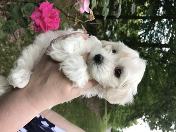 Litter Of 2 Maltese Poodle Toy Mix Puppies For Sale In Toano Va