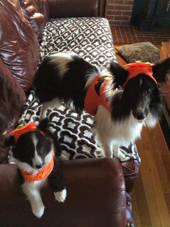 Pumpkins Sheltie, Shetland sheepdog, Sheepdog