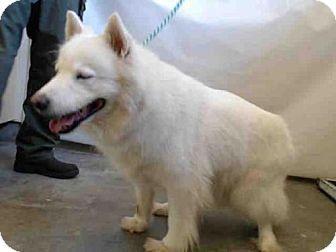 Camarillo Ca Samoyed Meet Snowball A Dog For Adoption Dog Adoption Pets Kitten Adoption