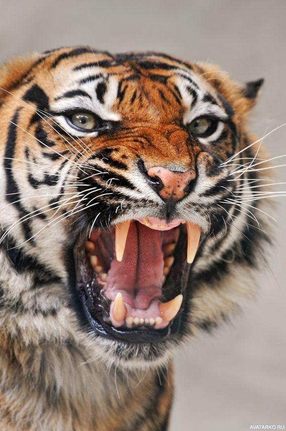 Картинки с тигром на аву, смешные политики