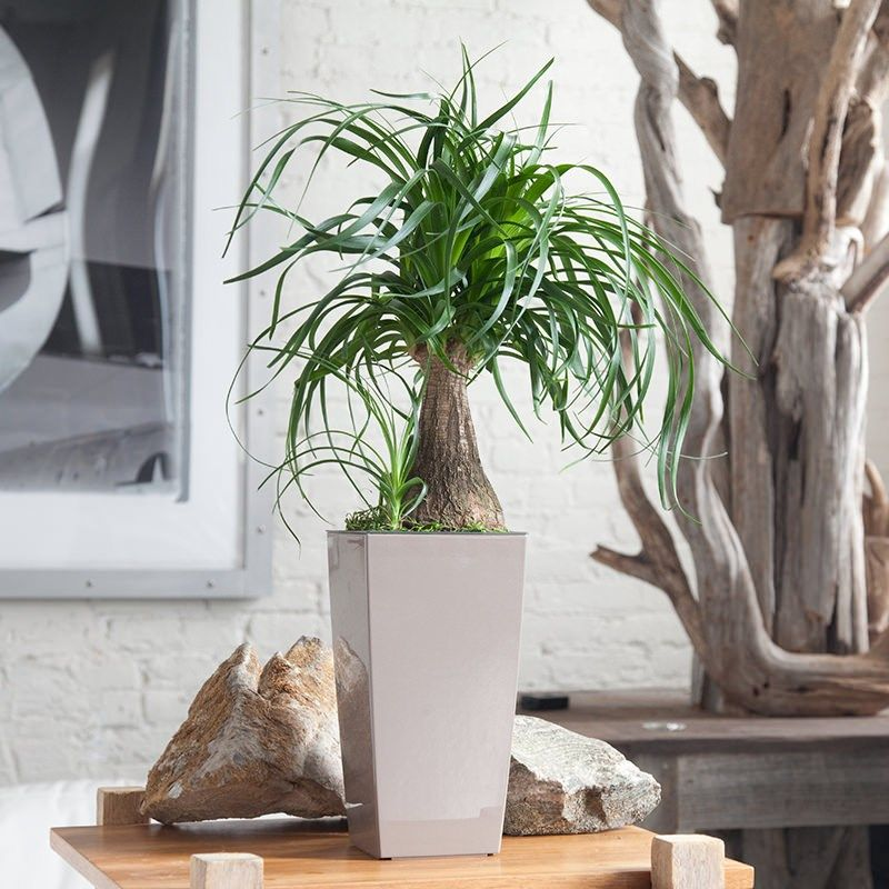 Ponytail Palm From My City Plants Plantes Toxiques Plantes D