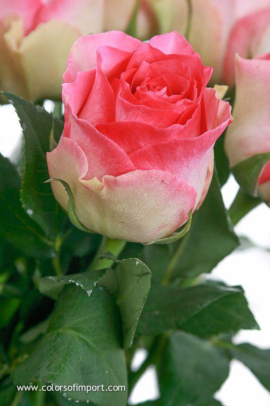 Rosa Malibu (rose) www.colorsofimport.com