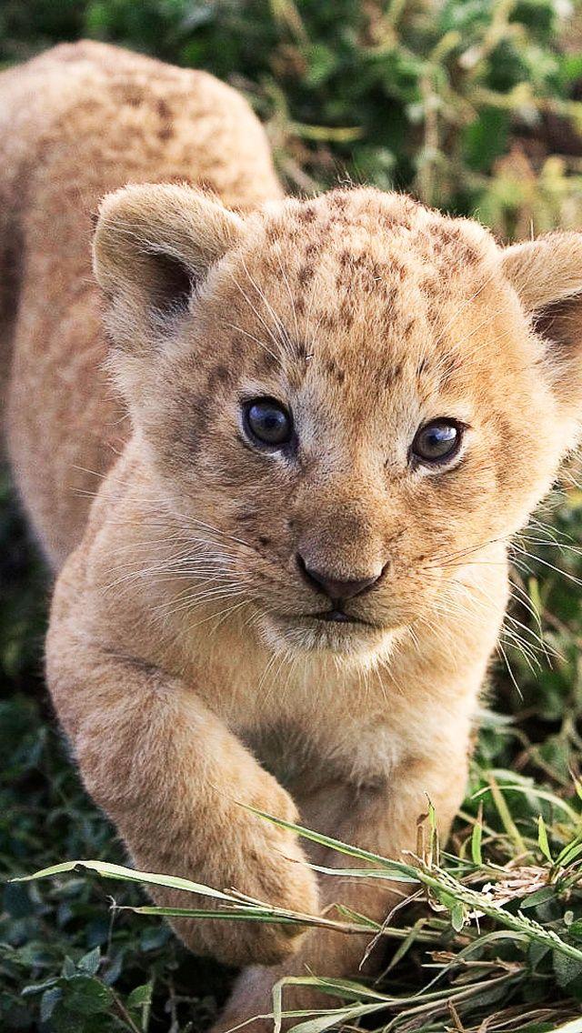 Petit Lion Mignon Apprend Iphone 5 5s 5c Fonds D Ecran 640x1136 Animaux Sauvages Animaux Images Animaux Sauvages
