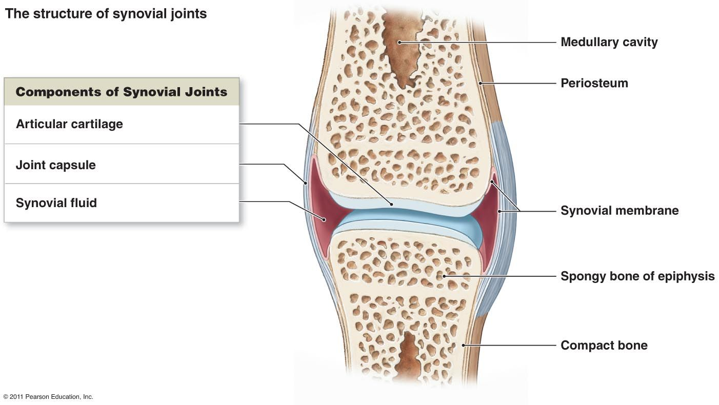 medium resolution of discover ideas about synovial joint