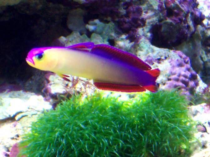 Purple Firefish Saltwater Tank Fish Pet Fish