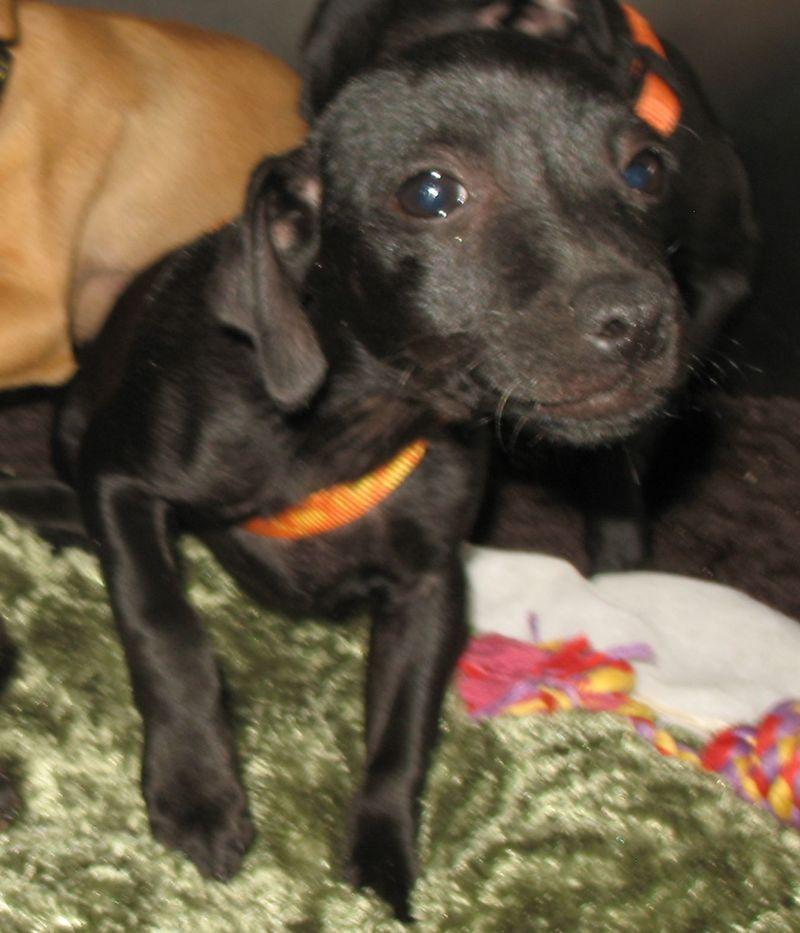 Adopt Tumbler On Pet Finder Adoption Chihuahua Mix
