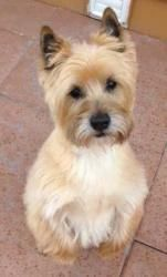 Adopt Oliver Ollie On Cairn Terrier Terrier Dogs Terrier