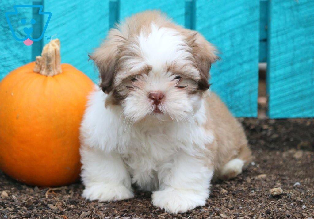 Shih Tzu Puppy Adoption Puppies