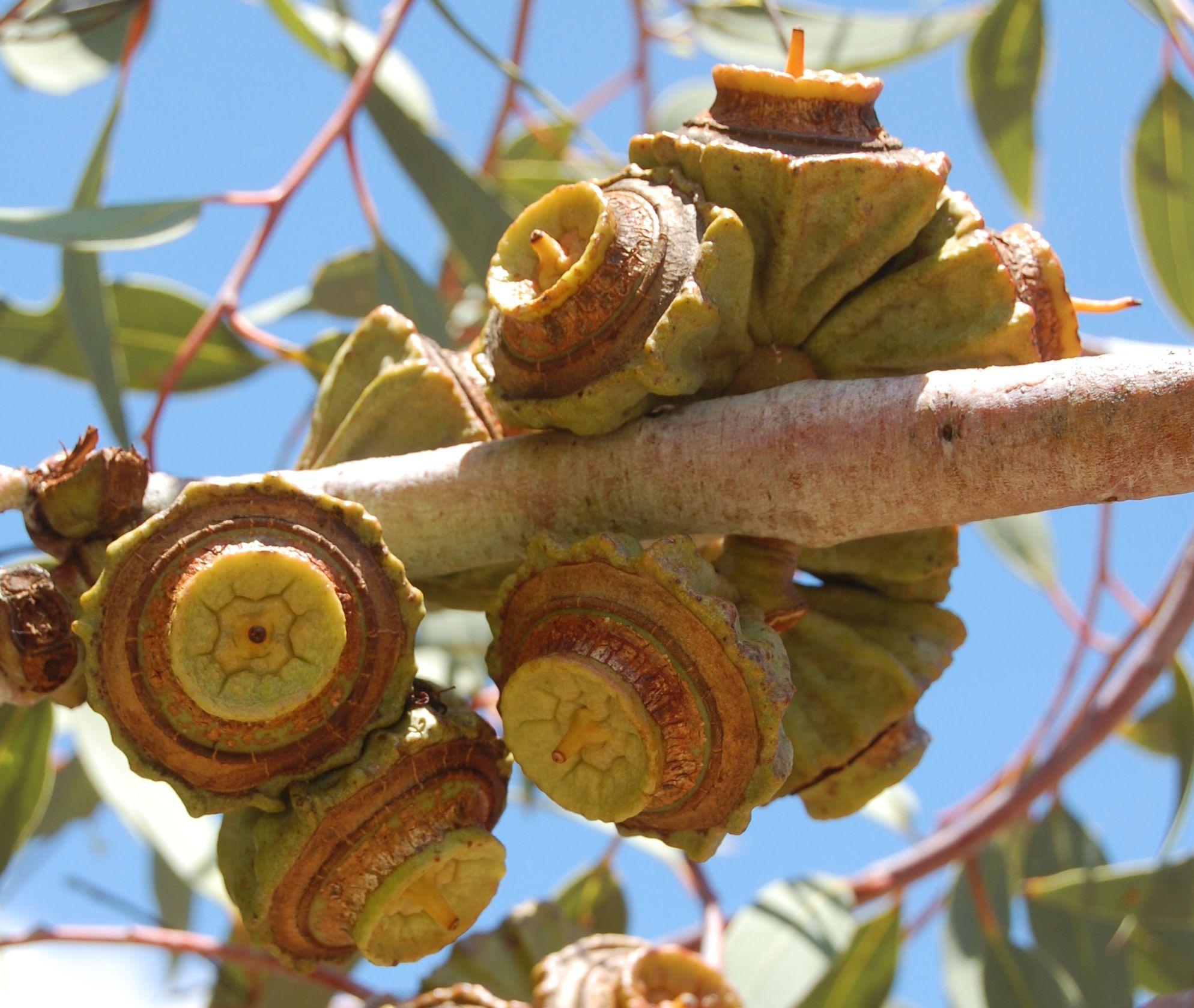 Pin By Carolyn On Plant Life Australian Native Plants Australian Wildflowers Seed Pods