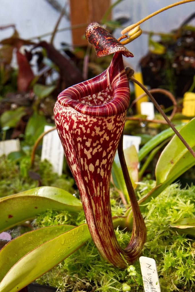 nepenthes Carnivorous plants, Unusual plants, Weird plants