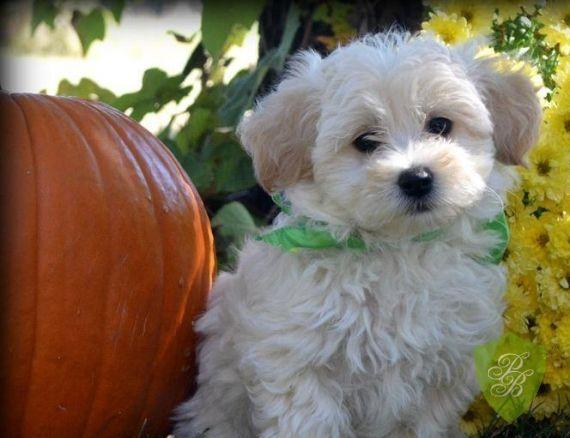 Puppies For Sale Indiana Designer Breeds Breeders Designer